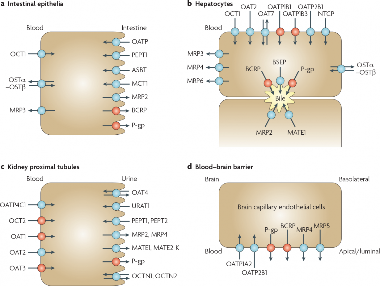 selected human transport proteins for drugs and endogenous substances.